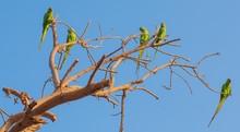 Parakeets In A Tree
