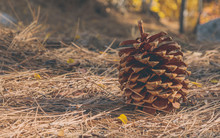 Pine Cone On The Forest Floor