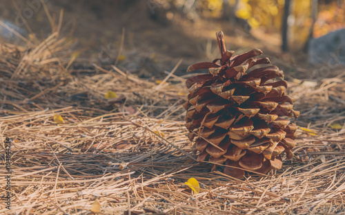 Photo  Pine Cone on the forest floor