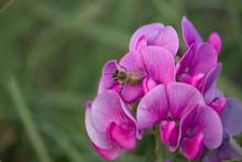 Bee On Vicia Sativa