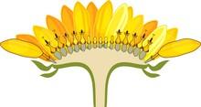 Flower Head Or Pseudanthium In...