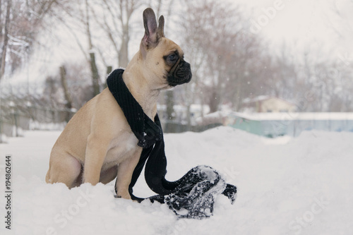 Deurstickers Franse bulldog .Dog French Bulldog on a winter walk in the snow and black scarf