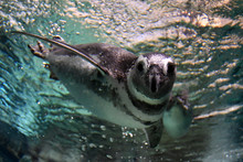 Penguin Underwater Coming To You