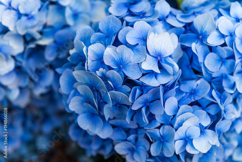 Photo sur Toile Hortensia Hydrangea Flowers in the Garden