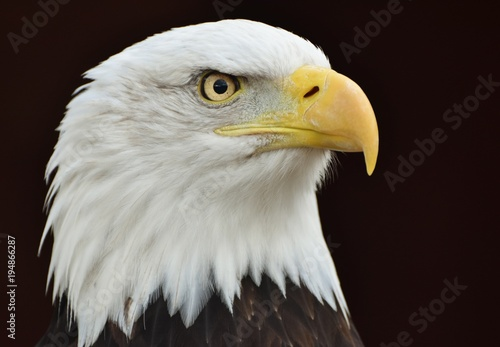 A Bald Eagle (Haliaeetus leucocephalus) on a black background.