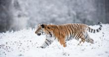 Young Siberian Tiger Walking I...
