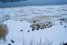 Ducks In Winter On The River B...