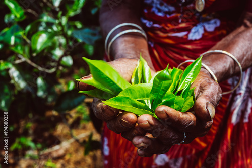 Photo  Hands  holding a fresh tea leaves on the tea plantation, Sri Lanka