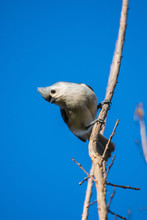 Tufted Titmouse Hanging Sideways Off A Branch Looking At The Camera In North Carolina In Spring