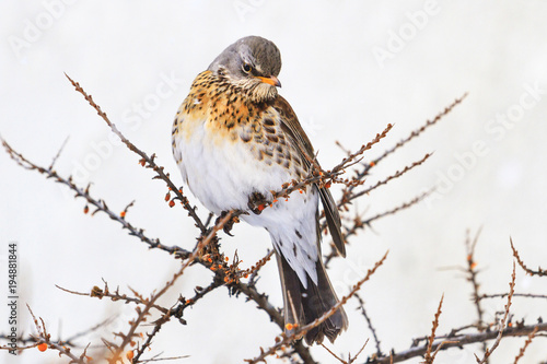Valokuva  Fieldfare sitting on a prickly branches