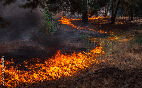 Photo  wildfire, burning pine forest .