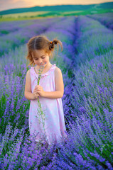 Fototapeta Lawenda beautiful little girl is picking a bouquet on a lavender field at sunset