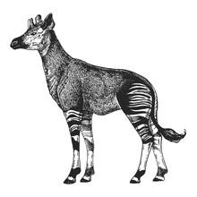 Zoo. African Fauna. Okapi. Hand Drawn Illustration For Tattoo Design, Emblem, Badge, T-shirt Print. Engraving Of Wild Animal. Classic Vintage Style Image.