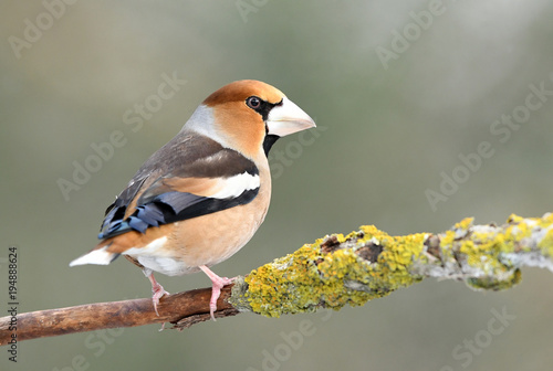 Hawfinch (Coccothraustes coccothraustes) Canvas Print