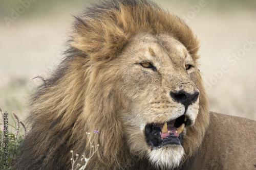 Foto op Plexiglas Leeuw Portrait of wild free roaming african lion