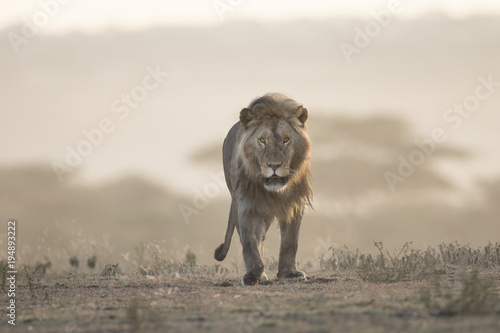 Photo Portrait of free ranging wild african lion