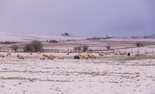 Sheep Grazing In A Snowy Basqu...