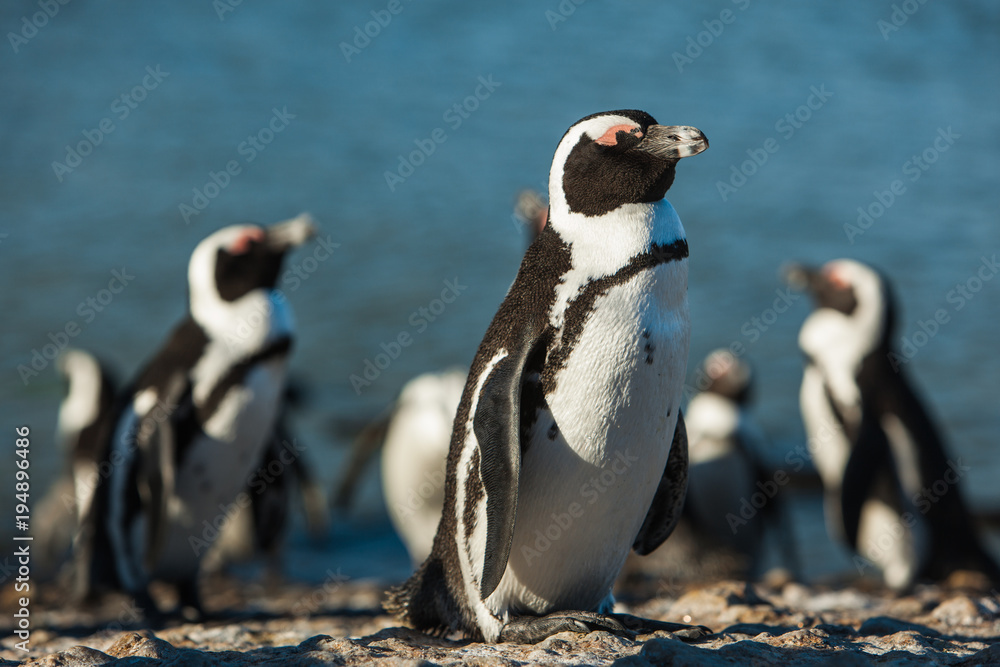 Group of sleepy Penguins in Simon's Town, South Africa