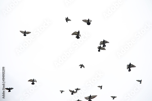 Canvas Print - A flock of pigeons flies across the sky. Birds fly against the s