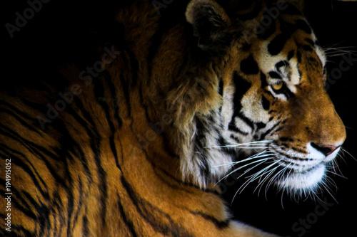 Fototapety, obrazy: Tiger in shadows