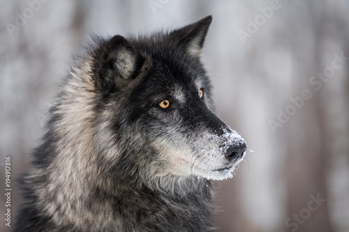 Canvas Prints Wolf Black Phase Grey Wolf (Canis lupus) Turns Right