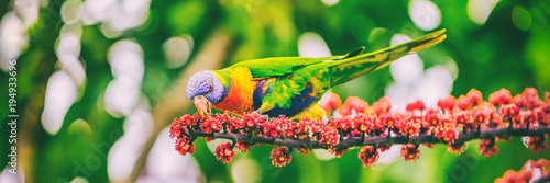 Deurstickers Vogel Rainbow lorikeet eating flower buds off tree branch in nature wilderness park in Sydney, Australia panoramic banner. Wild parrot bird animal.