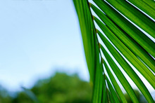 Green Palm Leaves Photographed...