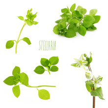 Chickweed On A White Background