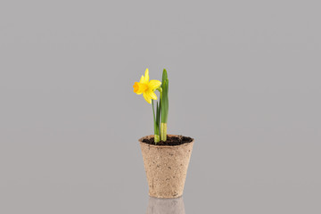 Narcissus flower in a pot isolated on grey background