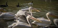 Pelican Feeding In The Zoo