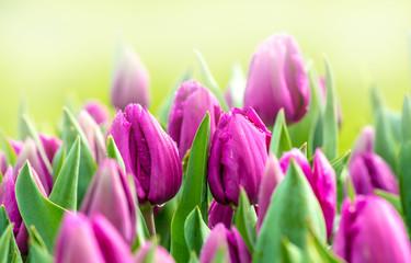 Tulpen blühen im Frühling bei Sonnenschein in einem Park