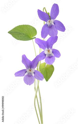 Fotografie, Obraz  Common Violet plant