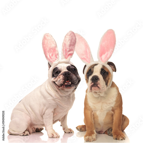 Deurstickers Franse bulldog french and english bulldog dogs wearing bunny ears