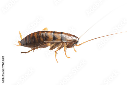 Cockroache nymph on white background.