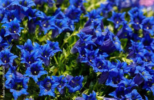 Foto auf Gartenposter Dunkelblau Trumpet gentiana blue flower in spring garden
