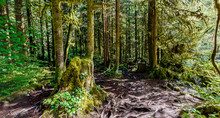 Hiking Trail With Tree Roots, In A Dense Subtropical Forest With Trees
