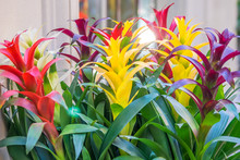 Colorful Blooming Bromelia Flo...