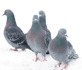 pigeons on a white background