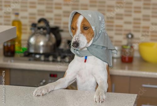 Portrait of basenji dog female wearing kerchief standing on the kitchen Canvas-taulu