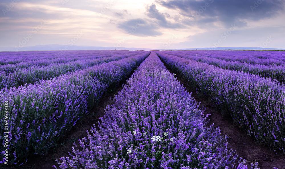 Fototapety, obrazy: Lawendowe pola. Piękny obraz pola lawendy