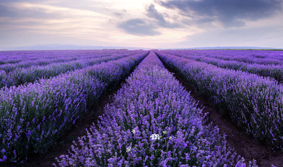Panel Szklany Lawenda Lavender fields. Beautiful image of lavender field.