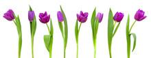 Line Of Purple Tulips