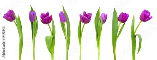 Foto op Plexiglas Tulp Line of purple tulips