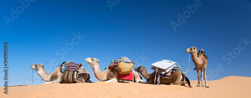 Fotobehang Kameel Panorama of camels in the Sand dunes desert of Sahara, South Tunisia