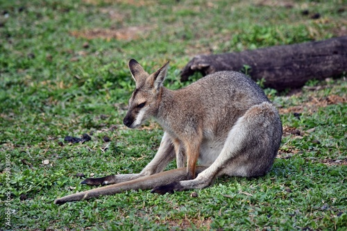 Foto op Canvas Kangoeroe Young cute wild gray wallaby kangaroo
