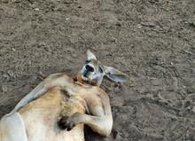 Big So Funny Wild Red Kangaroo...