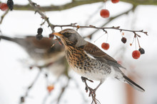 Adult Fieldfare On Branch Of A...
