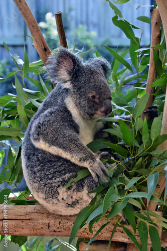 Foto op Canvas Koala Cute koala sitting and eating eucalyptus on a tree branch