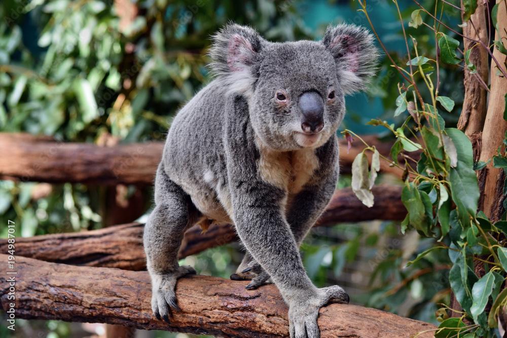 Cute huge koala walking on a tree branch eucalyptus