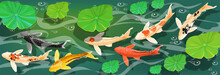 Carps Koi Fish Under Water. Ve...